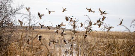 Mud Creek Hunt Club Guided Waterfowl Hunt for 4